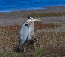 Great Blue Heron by Louise Heusinkveld
