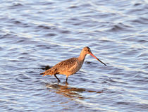 Marbled Godwit by Louise Heusinkveld