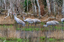 Sandhill Cranes by Louise Heusinkveld