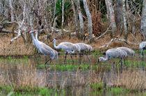 Sandhill-cranes0990