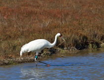 Whooping Crane by Louise Heusinkveld