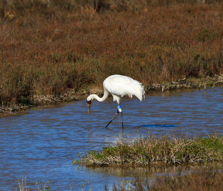 Whooping-crane1015