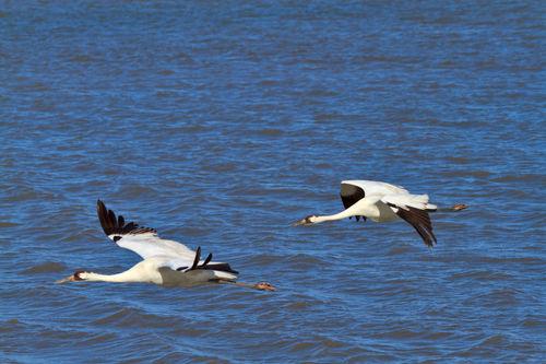 Whooping-cranes-in-flight1026