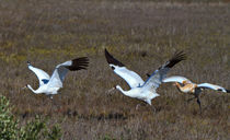 Whooping Cranes, Parents and Chick in Flight by Louise Heusinkveld
