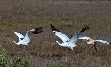Whooping-cranes-taking-off1024