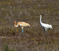 Whooping Cranes, Parent and Chick by Louise Heusinkveld