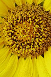 Sunflower 7 by Razvan Anghelescu