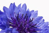Blue Cornflower von Michael Kloth