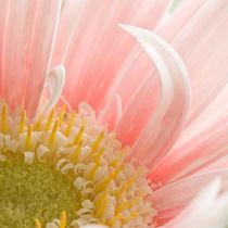 Gerbera Daisy von Michael Kloth