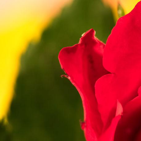 Michael-kloth-rose-4760
