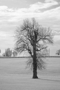 Winter Walnut Tree by Michael Kloth