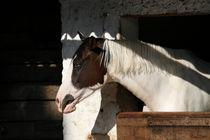 Pinto horse by Raffaella Lunelli