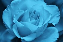 blue rose by Martina Weidner