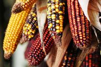 Colourful corn von Miroslava Andric