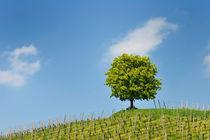 Baum auf Weinberg, blauer Himmel by Matthias Hauser