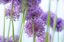 Blütenbälle by Ursula Pechloff