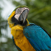Parrot-macaw