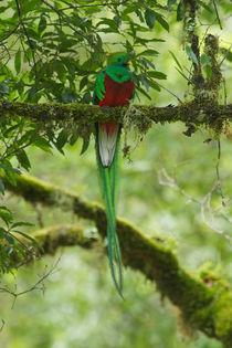 Resplendent Quetzal von Andreas Müller