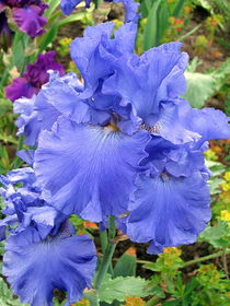 Blaue Iris by Eugen Bill