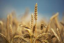 Wheat field von Peter Zvonar