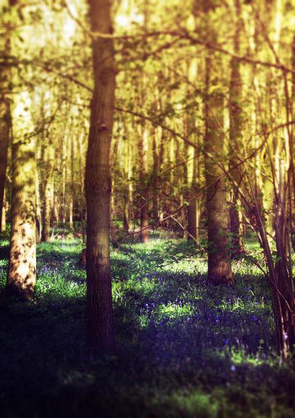Bluebellwood-rb-c-sybillesterk