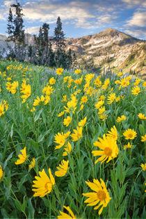 Alpine Wildflowers von Douglas Pulsipher