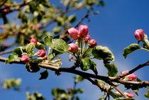 junge  Apfelblüten von tinadefortunata