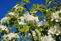 der alte Pflaumenbaum blüht by tinadefortunata
