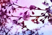 märchenhafte  Kirschblüten by tinadefortunata