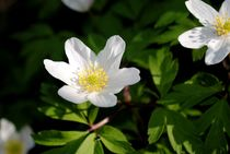 Anemone Nemorosa by tinadefortunata