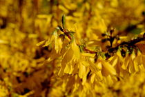 Goldglöckchen by tinadefortunata
