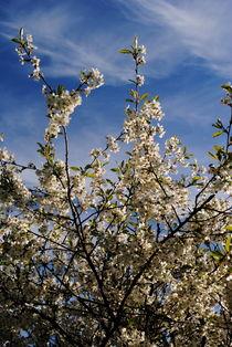 Kirschblüten im Mai von tinadefortunata
