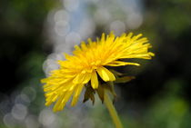 gelbe Blume by tinadefortunata