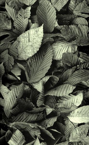 A-291-44-e-dead-beech-leaves