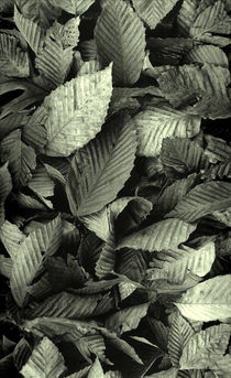 Beech Leaves von David Halperin