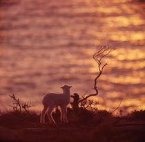 Lamb Watching a Sunset by David Halperin