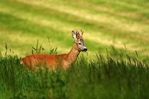 Rehbock-wildlife von Wolfgang Dufner
