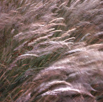 Waving Grasses by David Halperin