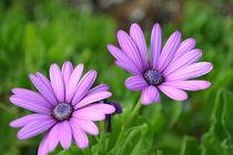 Purple Flower by Charlotte Cushway