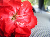 Red Flower by Charlotte Cushway