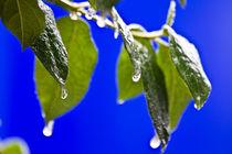 Ice-rain-on-leaves-blue-back-v1-10-2-12