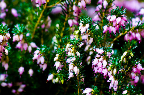 Ice-rain-on-pink-flowers-and-leaves-v1-10-2-12