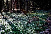 der Wald blüht von tinadefortunata