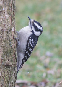Downy Woodpecker on Dogwood von Robert E. Alter / Reflections of Infinity, LLC