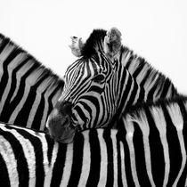 Entw-zebra-3