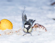 Great Tit in Snow by Graham Prentice