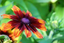 Coloured daisy by Silvia Fortini