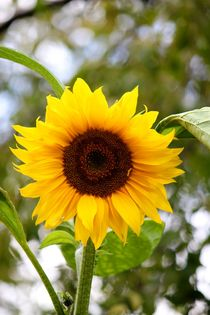 Sunflower by Silvia Fortini
