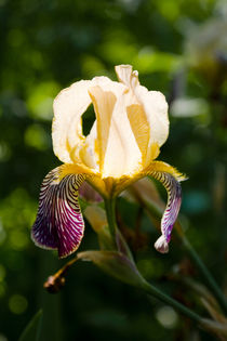 Yellow iris germanica in sunlight von kbhsphoto