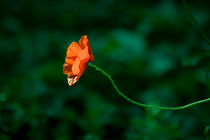 Red corn poppy by kbhsphoto